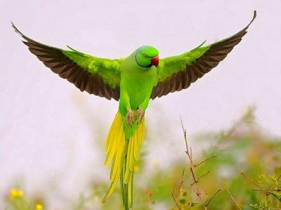 Papagal frumos de vanzare